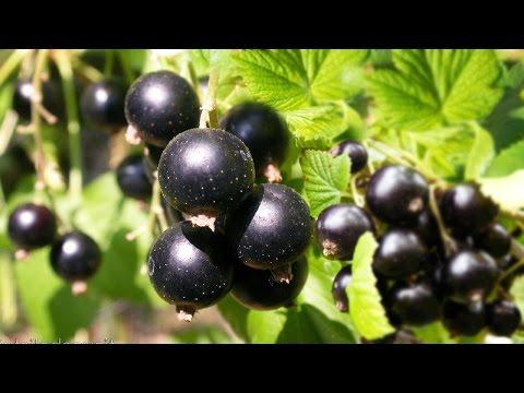 Чёрная смородина. Полезные, лечебные свойства, противопоказания, рецепты народной медицины