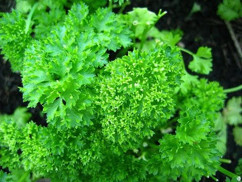 Петрушка — польза и вред. Рекомендации врача про зелень петрушки